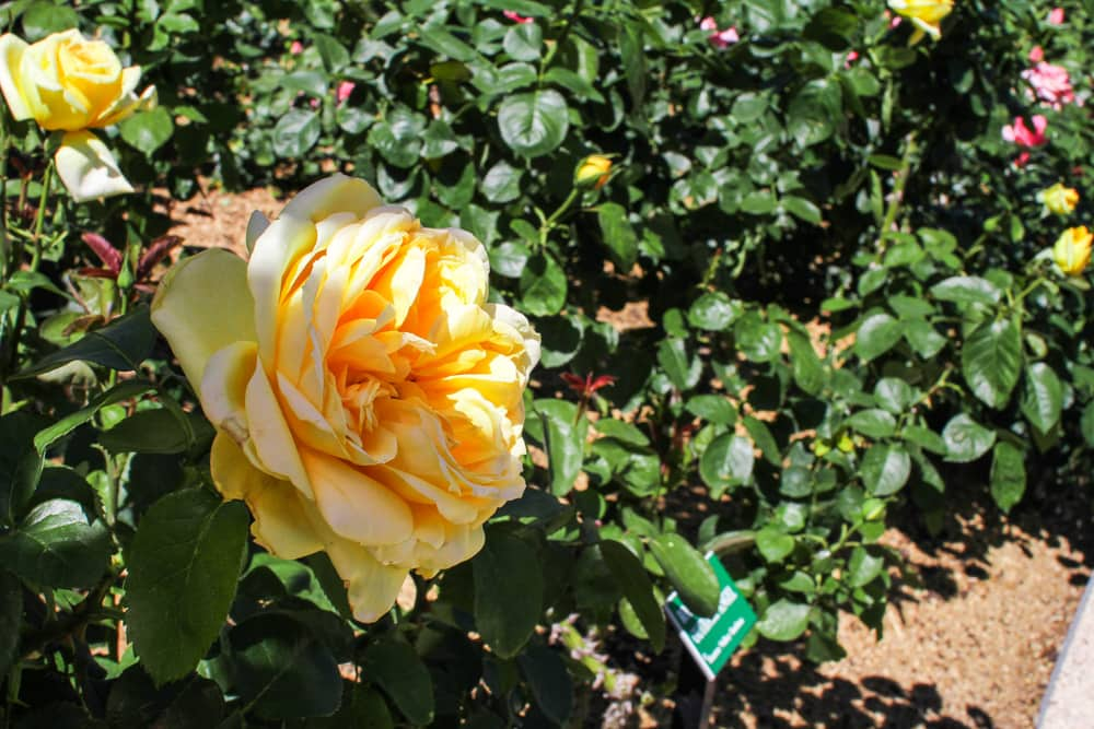 A large yellow rose