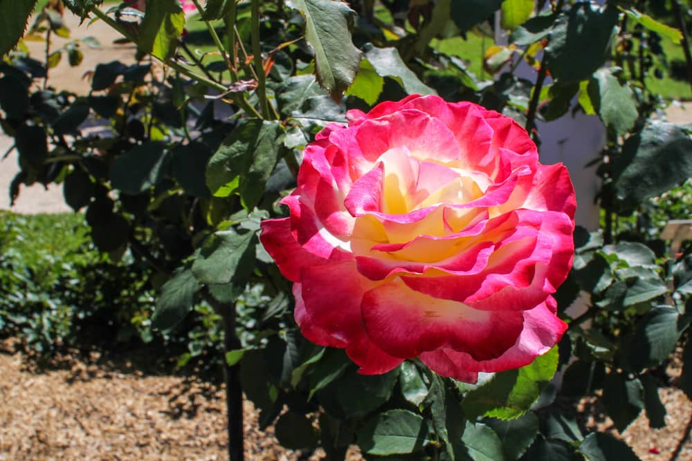 Gigantic pink-and-yellow rose