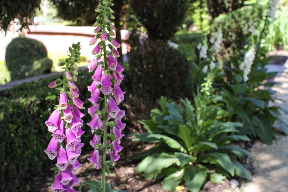 Purple bell-like flowers