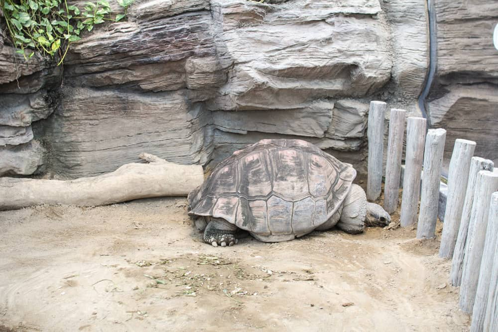 Giant tortoise from side