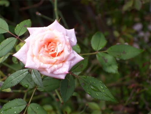 One of my photos of a rose, 2010