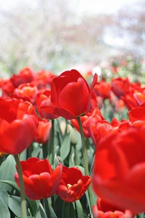 Tulips, Tulip festival 2012
