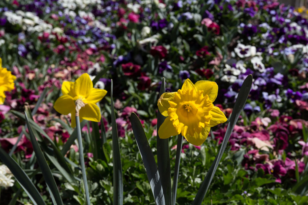 Daffodils were present too