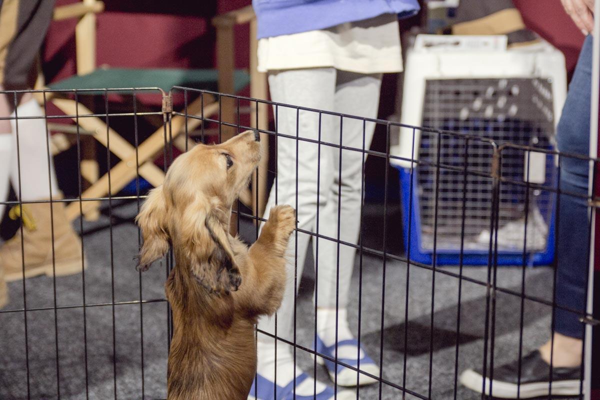 A dachshund on its hind legs