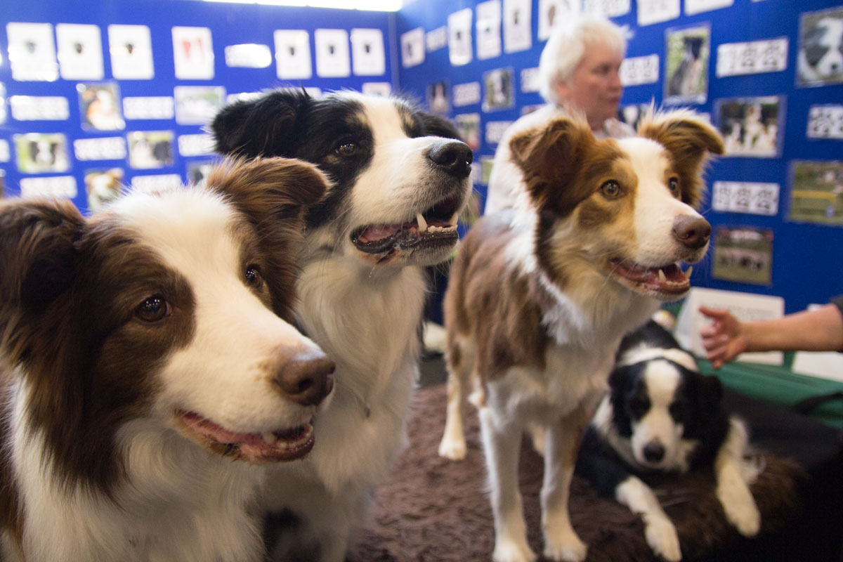 Border collies posing for a photo
