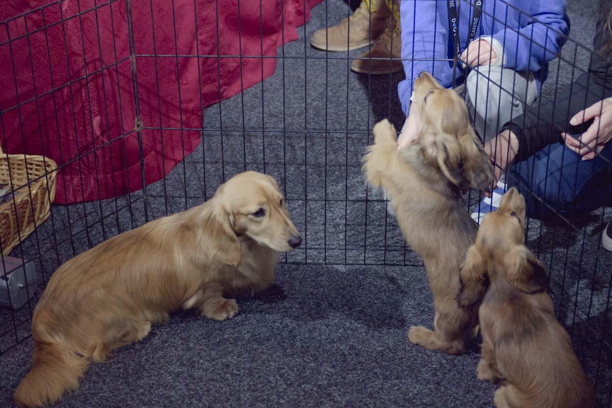 Little dachshunds