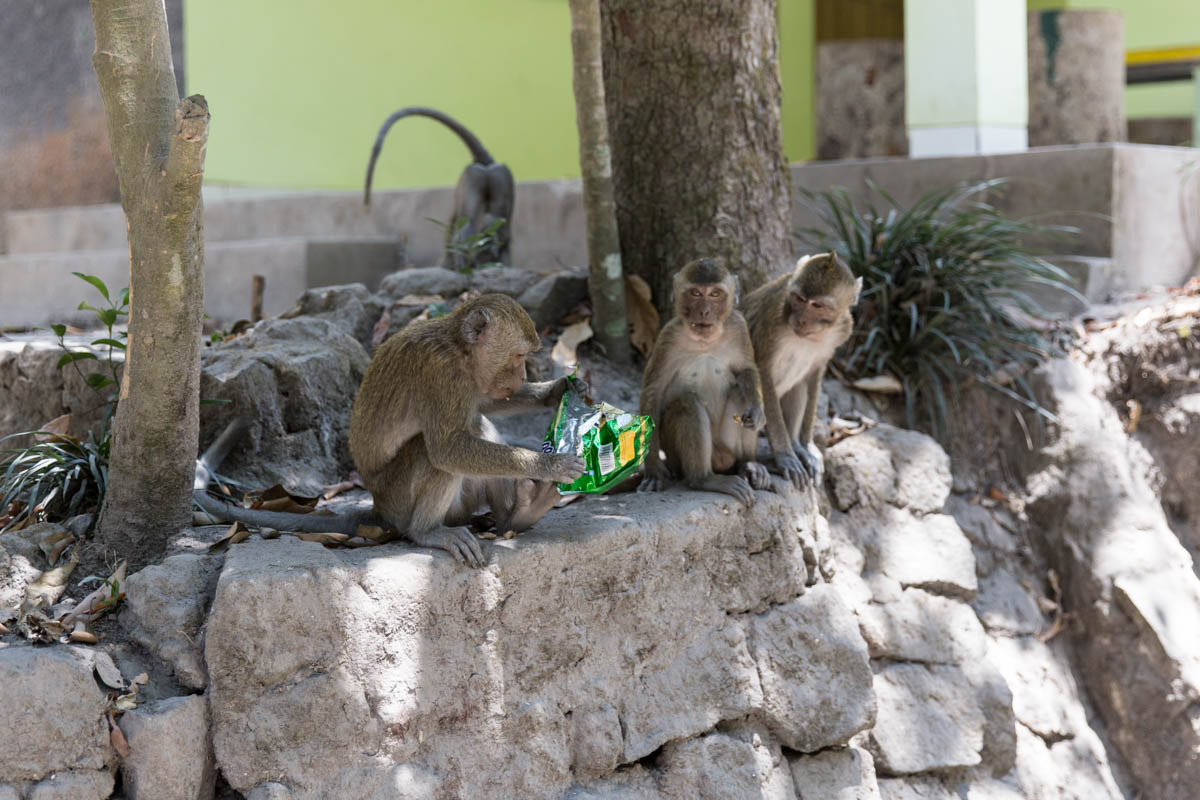 Monkeys eating peanuts