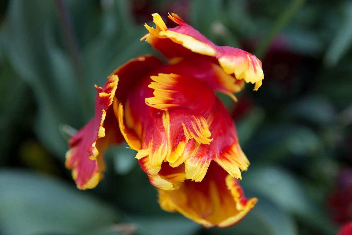 Wilting fire-like tulip
