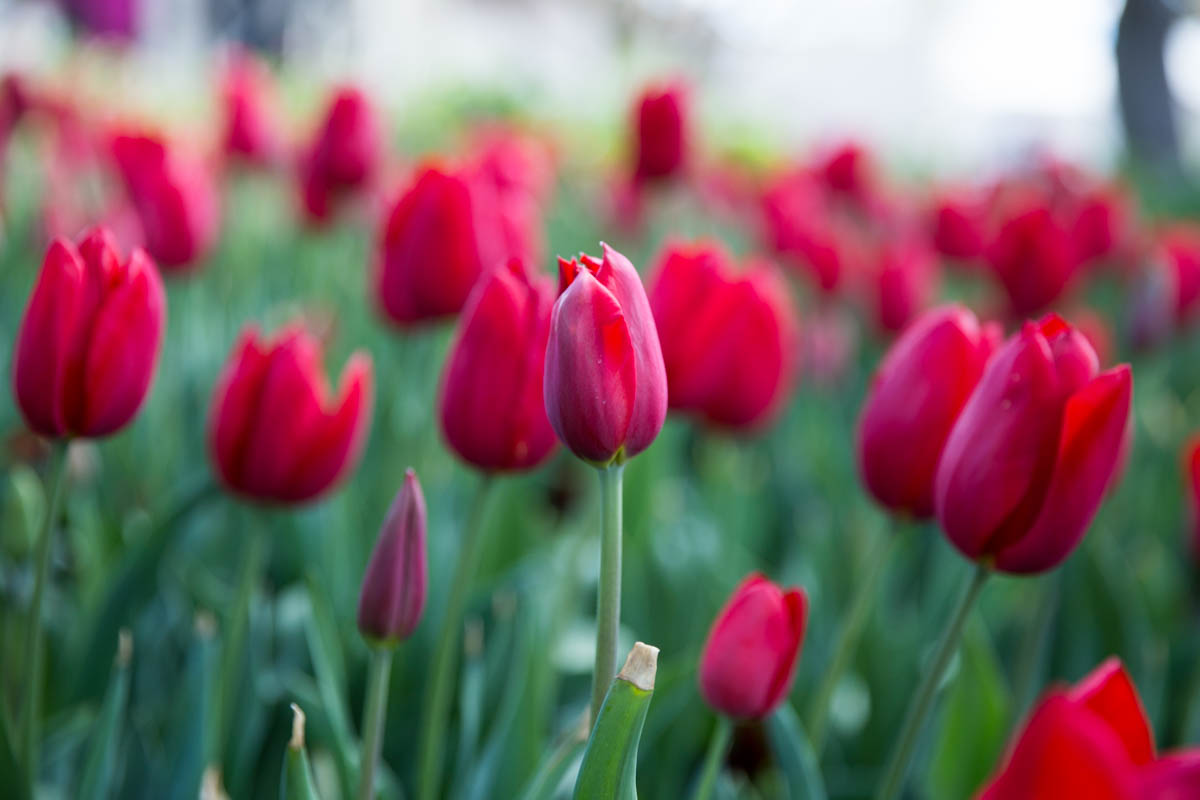 Ruby red tulips