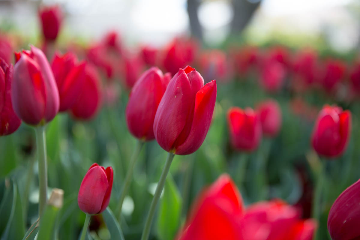 Close shot of the ruby red tulips