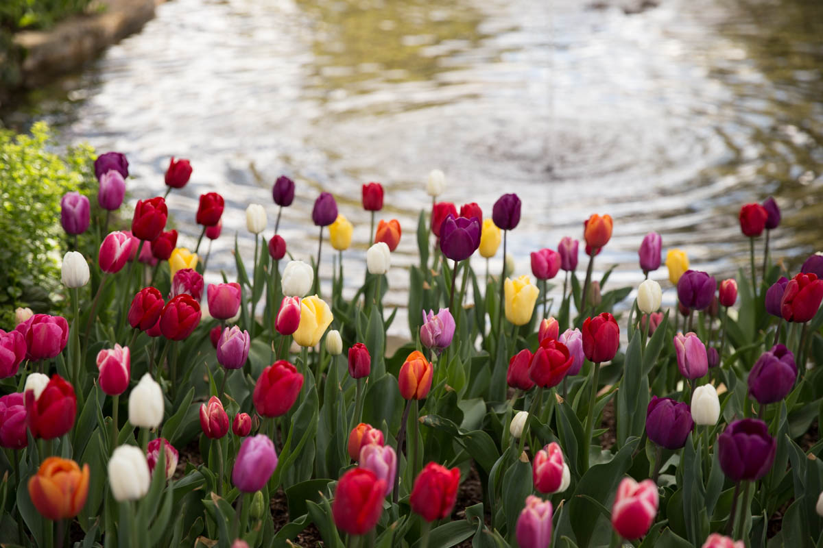 An assortment of tulips by the pond
