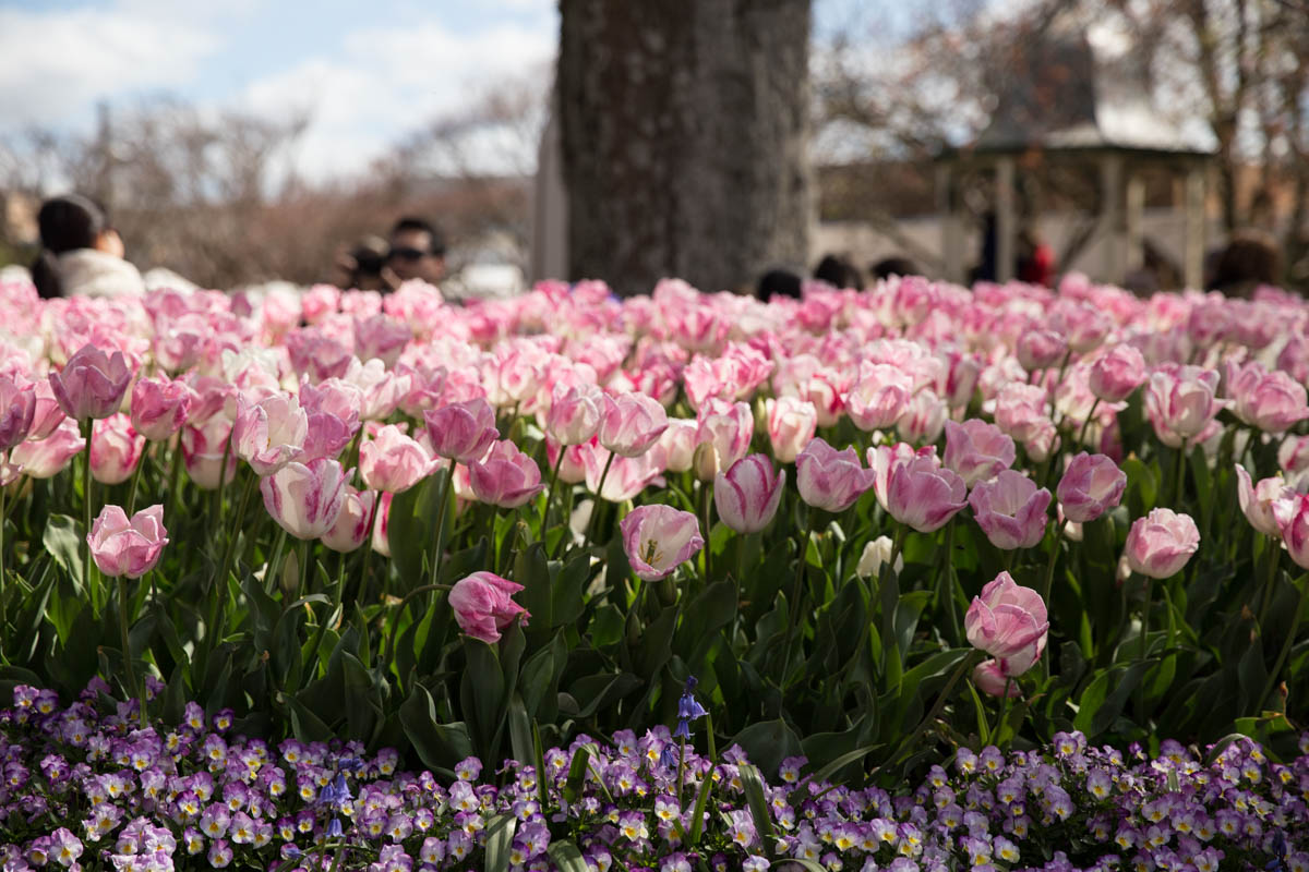A bed of light pink tulips