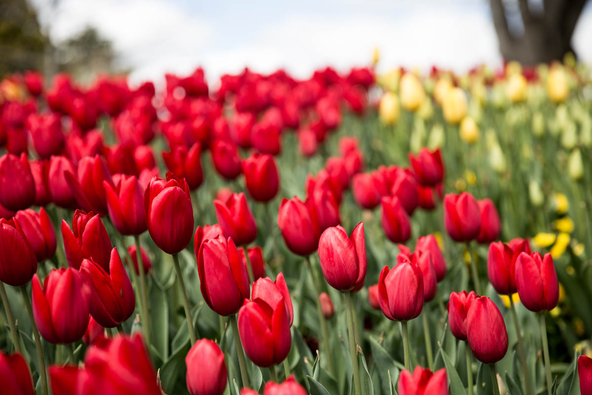 Several rows of different coloured tulips – these were arranged like a rainbow