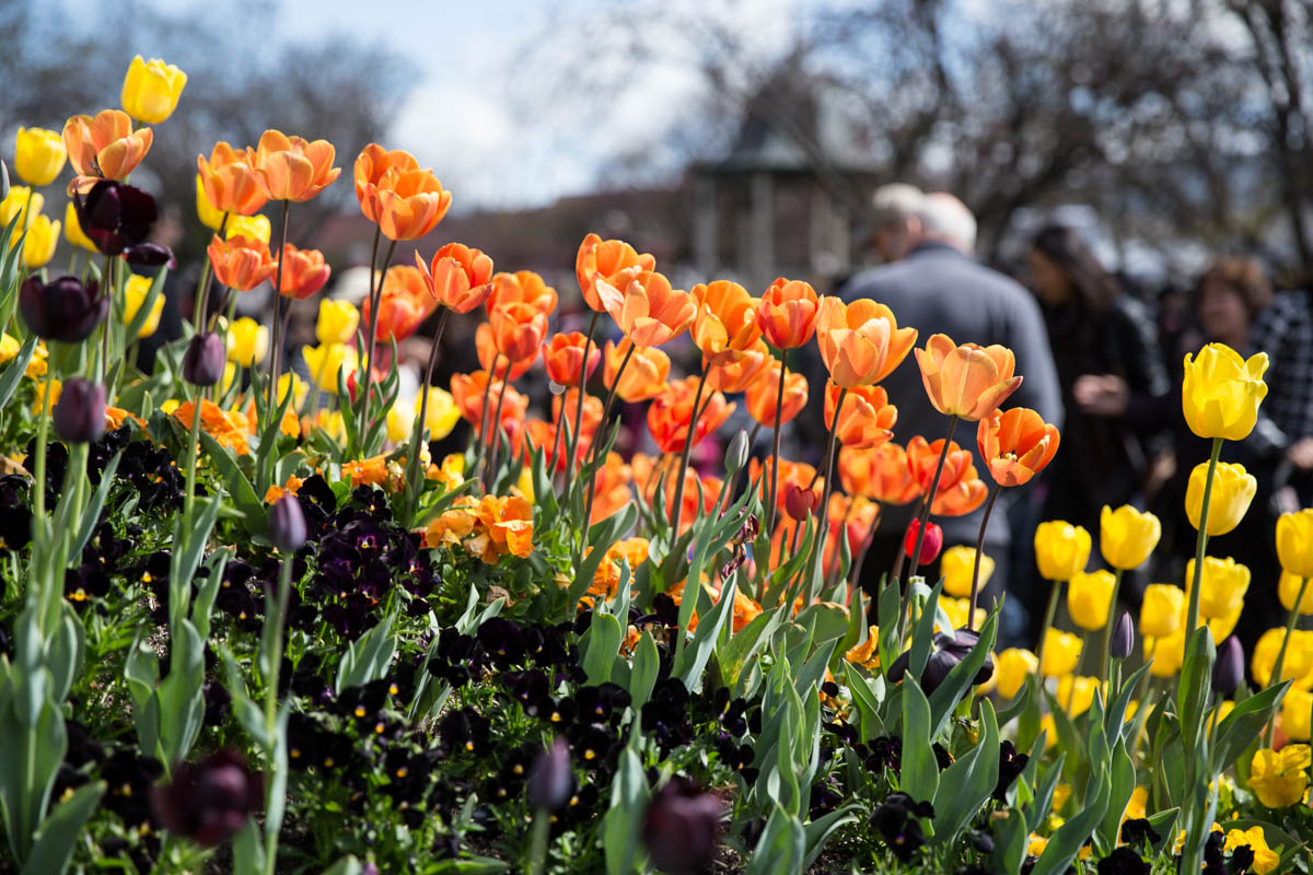 I love the composition of this shot of orange tulips!