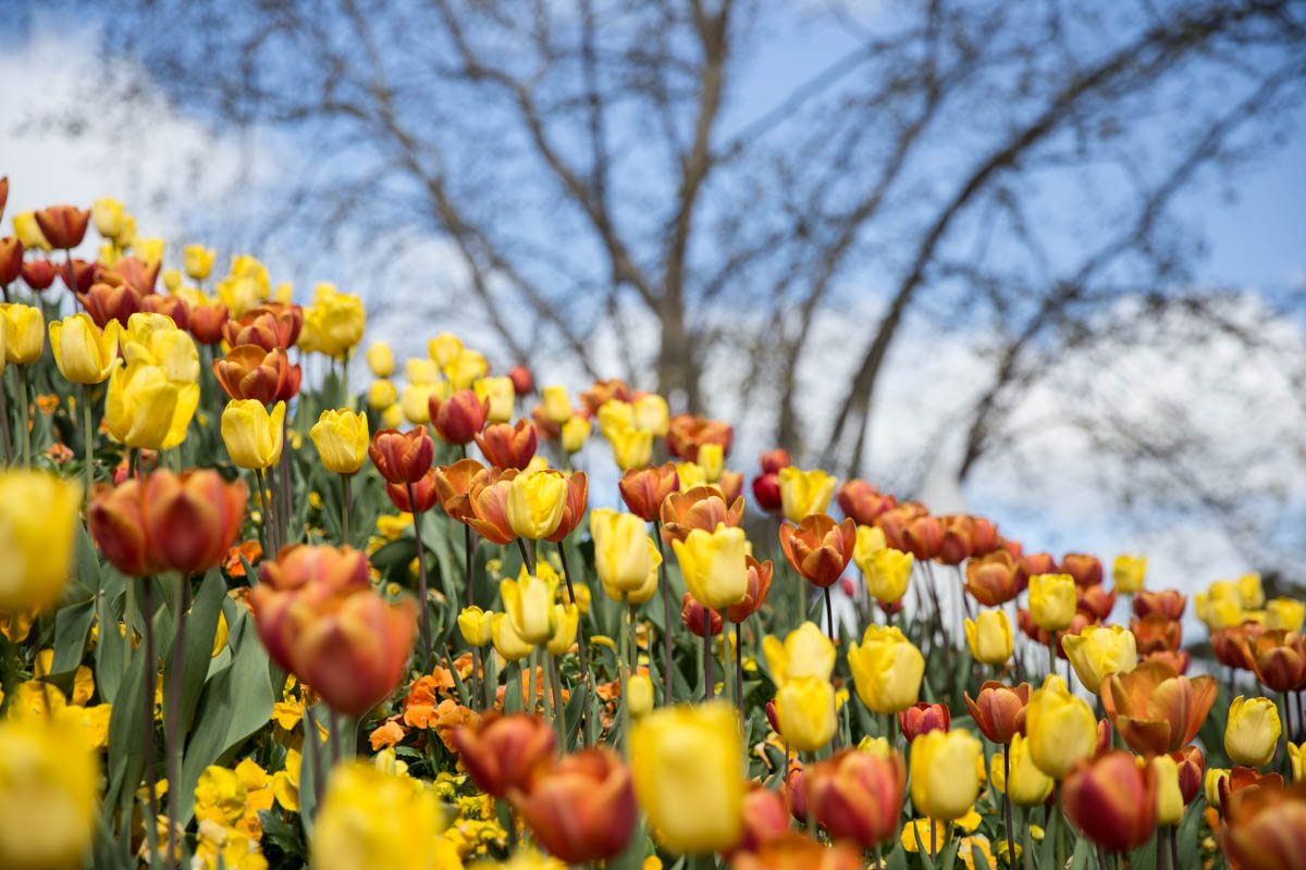Orange and yellow tulips with branches of a tree in the background