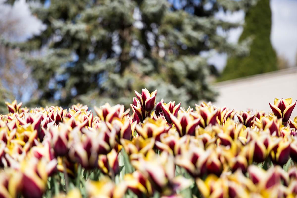 Very dark purple-and-yellow tulips