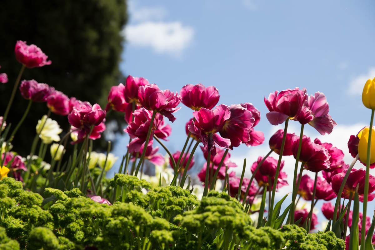 Fuchsia tulips against the blue sky