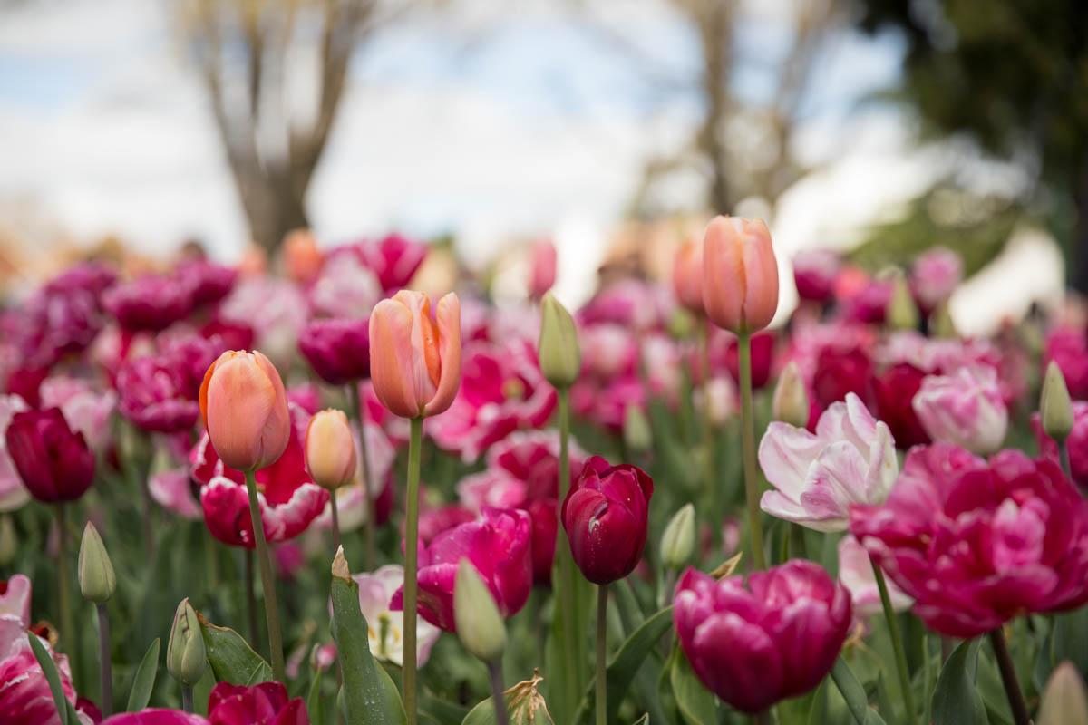 Pale pink tulips among fuchsia ones