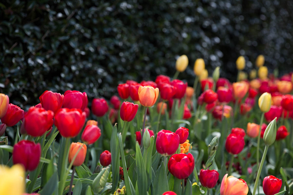 These tulips were very, very red